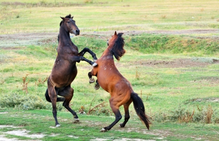 fight of horses on field Stock Photo - 22116453