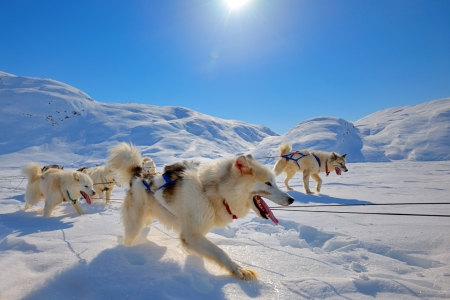 Sled dogs on the pack ice of Greenland Stock Photo