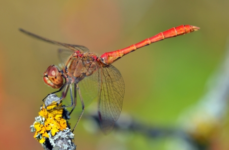 anisoptera: red dragonfly at rest on a twig with moss; sympetrum vulgatum;  Stock Photo