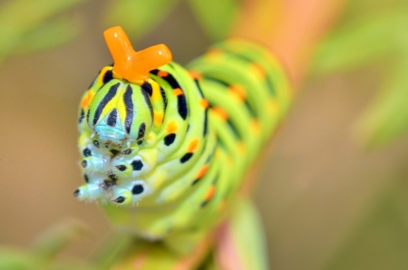 wild caterpillar of Papilio Macaone on a green background Stock Photo - 22116459