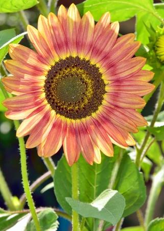 Red sunflower shoot in garden Stock Photo - 22142502