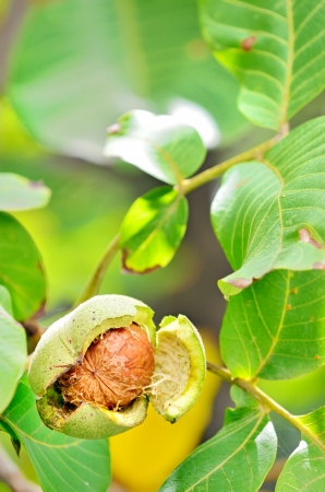 ripe walnut shoot in garden Stock Photo - 23000459