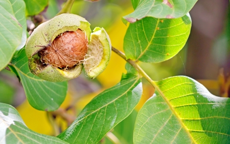 ripe walnut in opened shell closeup in tree Stock Photo - 23000460