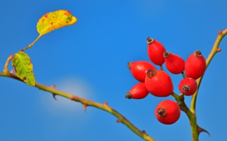 macro Rose hips from the bushes Stock Photo - 23000538