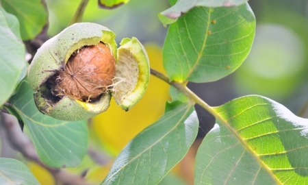 ripe walnut shoot in garden photo