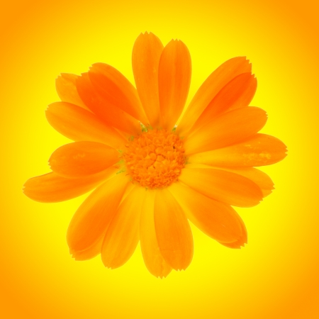 yellow daisy flower isolated on yellow background Stock Photo - 23216318