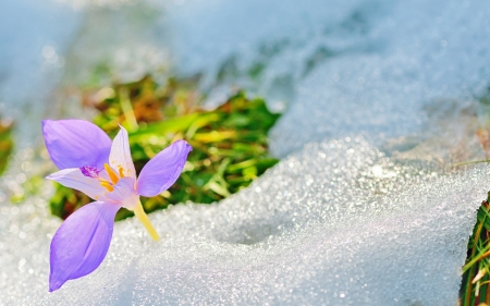 Crocus flowers in spring time photo