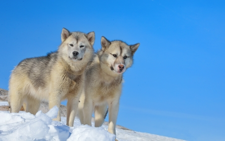 greenland dogs in winter time Stock Photo - 24377189