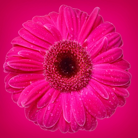 bright pink Gerber Daisy on pink background