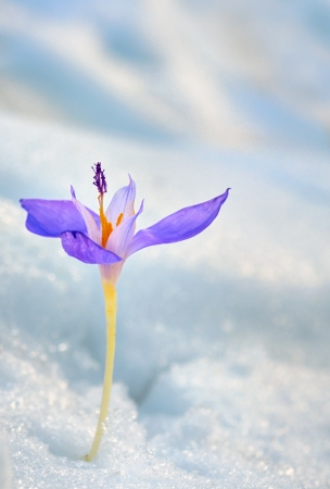 Crocus flower in the snow in spring time