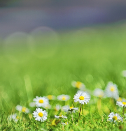 white daisies on the field in the summer day Stock Photo