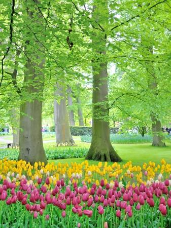 Tulips in garden in spring time