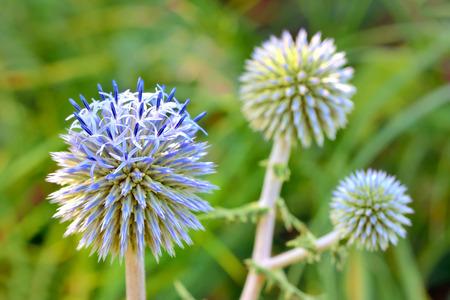 Blue globe thistle (Echinops) in the garden Stock Photo