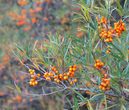 buckthorn: Branch with berries of sea buckthorn and green leaves