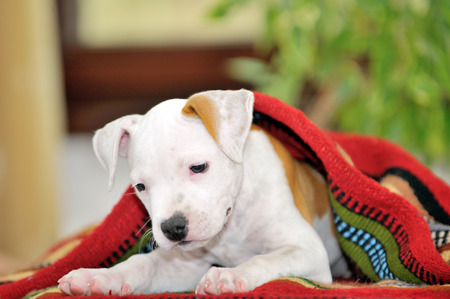 bul: Puppy American Staffordshire Terrier  playing Stock Photo