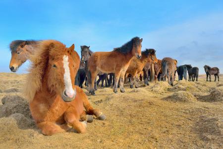 Icelandic free horses grazing on the grass