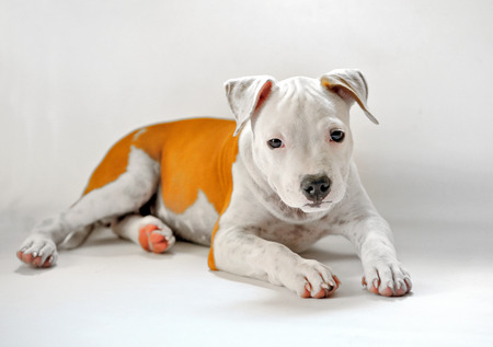 bul: puppy American Staffordshire terrier on white background Stock Photo