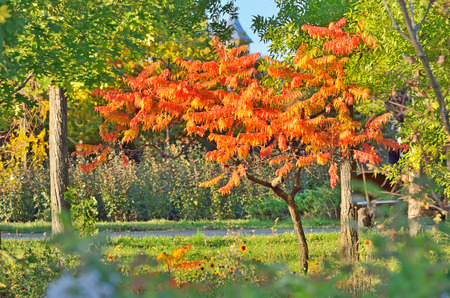 staghorn: Staghorn Sumac tree in autumn time Stock Photo