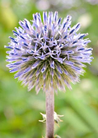 pokey: Echinops - globe thistles plant in summer time