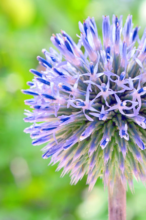 Blue globe thistle (Echinops) in the garden photo