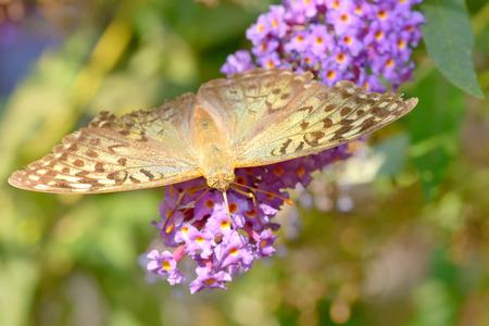 danaus: Monarch butterfly (Danaus plexippus) on  garden flowers Stock Photo