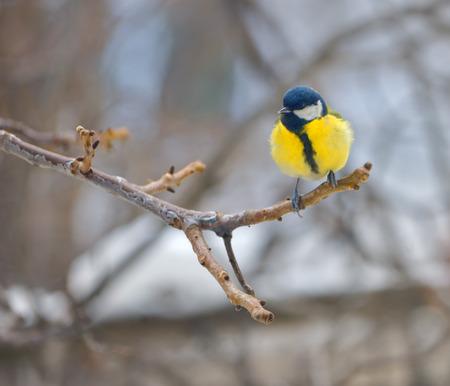 caeruleus: blue tit on branch in winter (parus caeruleus)