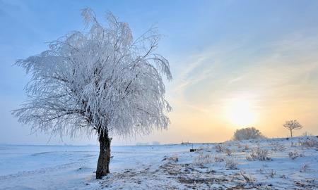 frozen trees: winter landscape of frozen trees in morning time