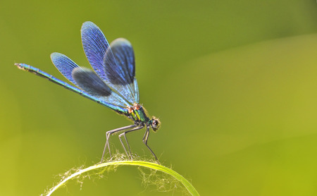 the blue dragonfly sits on a grass Stock Photo
