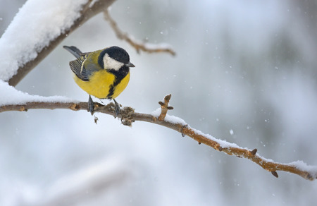 great tit on tree brunch in winter time Stock Photo