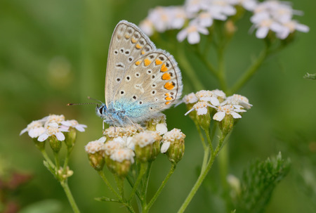 common blue: Common Blue (Polyomathus icarus) butterfly