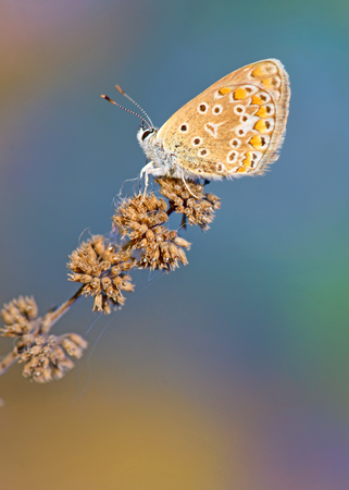 icarus: Common Blue (Polyomathus icarus) butterfly on dried plant Stock Photo