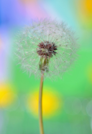 dandelion on colorful background in nature