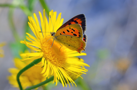icarus: Common Blue (Polyomathus icarus) butterfly on flower