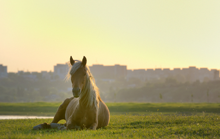 grazing: Horse sitting down at sunset