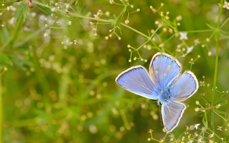 icarus: Common Blue (Polyomathus icarus) butterfly