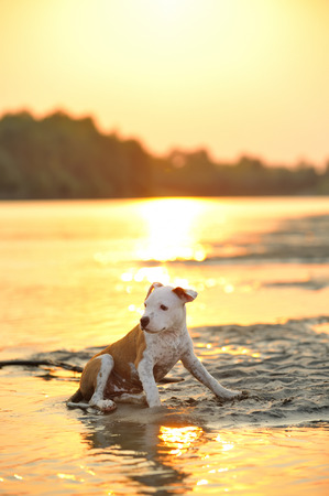 american staffordshire terrier: American Staffordshire Terrier dog play in water Stock Photo