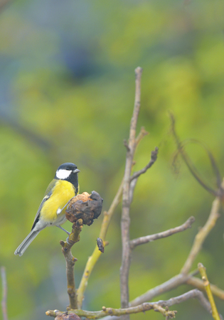 Great tit on a tree branch Stock Photo