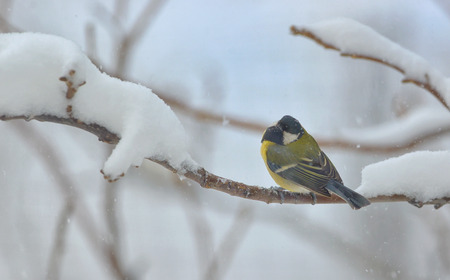 birdlife: great tit on tree brunch in winter time Stock Photo