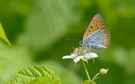 common blue: Common Blue (Polyommatus icarus) butterfly on a flower