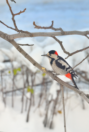 woodpecker: Great Spotted Woodpecker (Dendrocopos major) Stock Photo