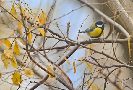 birds on branch: Parus major, great tit bird on autumn branch tree