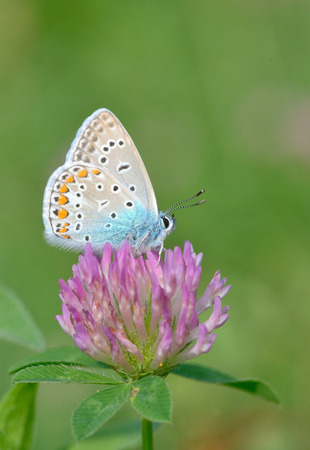 common blue: Common Blue (Polyomathus icarus) butterfly on flower