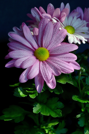 Violet Pink Osteosperumum Flower Daisy with dew drops