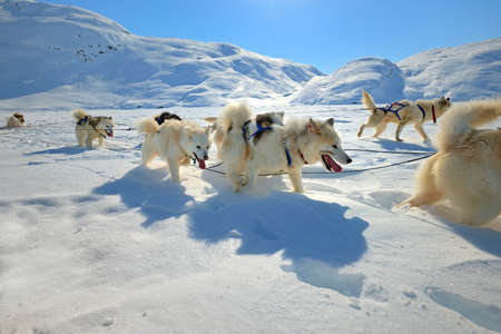 sled dogs: Sled dogs on the pack ice of East Greenland
