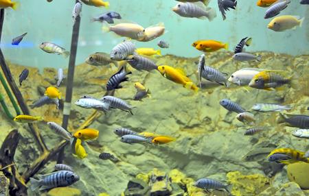 exoticism saltwater fish: Background of African fishes in aquarium