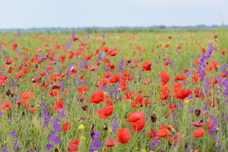 colorful poppy flowers on field in summer Stock fotó