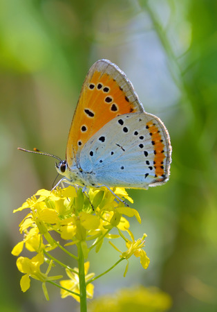 icarus: Common Blue (Polyommatus icarus) butterfly on a yellow flower