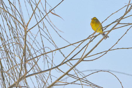 unmarked: Yellow Warbler (female) in winter time