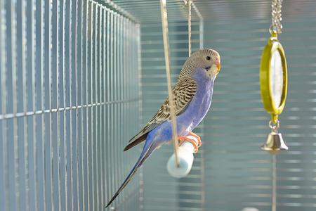 Indigo Budgerigar parrot in his cage