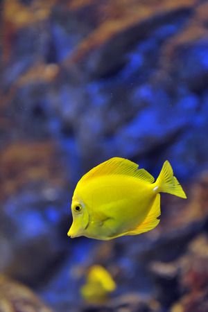surgeon fish: yellow tropical fish in water